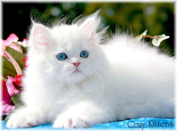 10 Ras Kucing Termahal Di Dunia Febriancahyadi